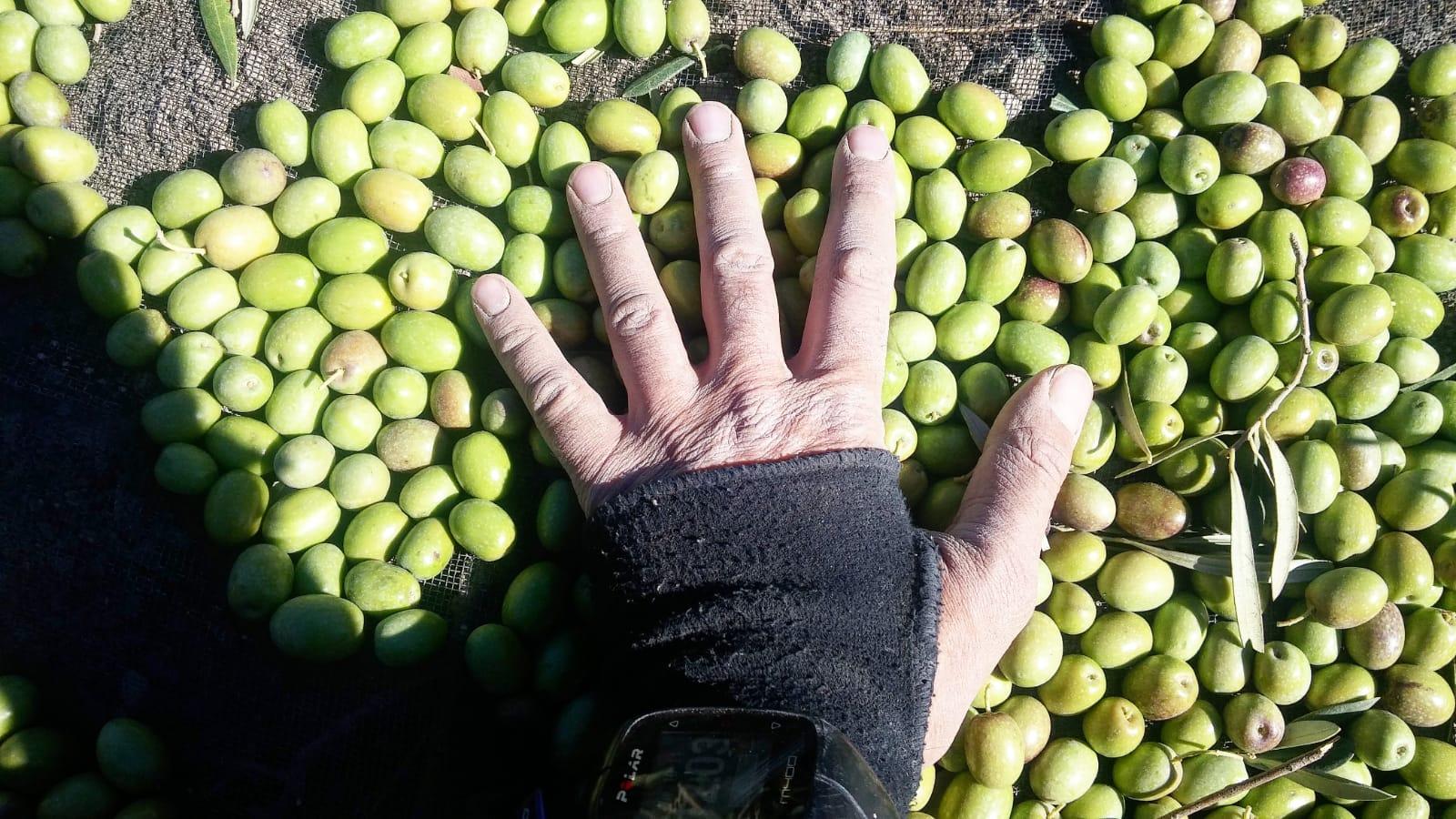 aceitunas hojiblanca